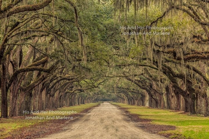 Savannah Collection Photo - A live oak canopy #Sav79
